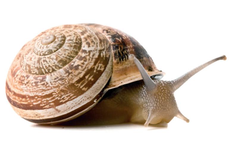 Qu es un caracol recetas de caracoles for Caracol de jardin de que se alimenta