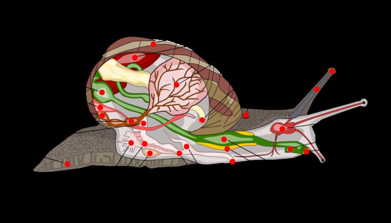 Anatomia de los caracoles partes