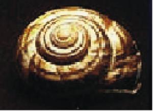Especies de caracoles comunes