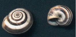 Caracol cernuella virgata. Especies de caracoles comunes