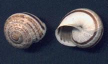 Caracol iberus alonensis